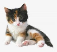 Cat Breeds A To Z Photo
