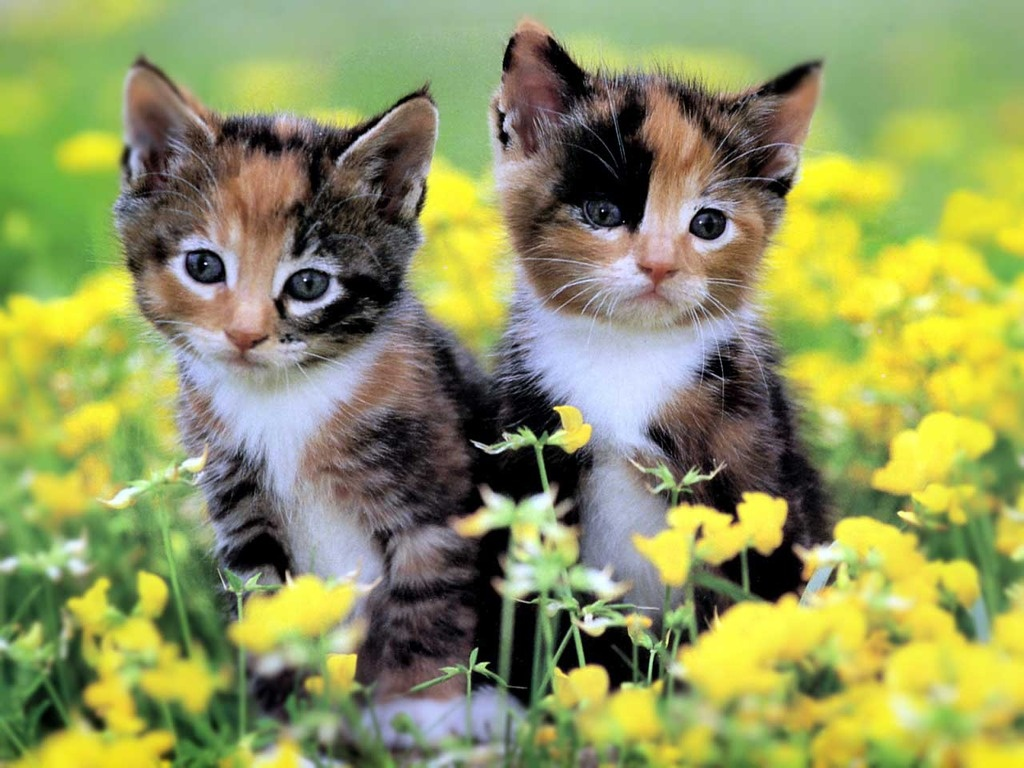 Cute Calico Kittens