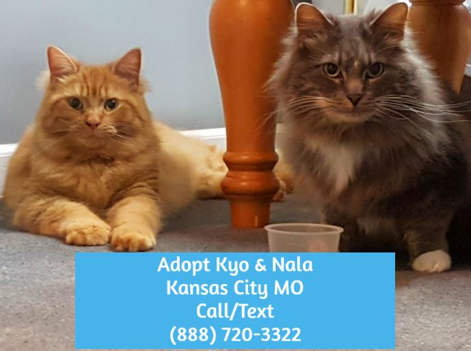 Kyo Nala Maine Coon Cats Adoption Kansas City Mo