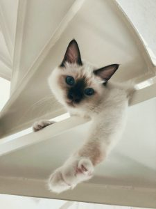 Birman Cat Photo