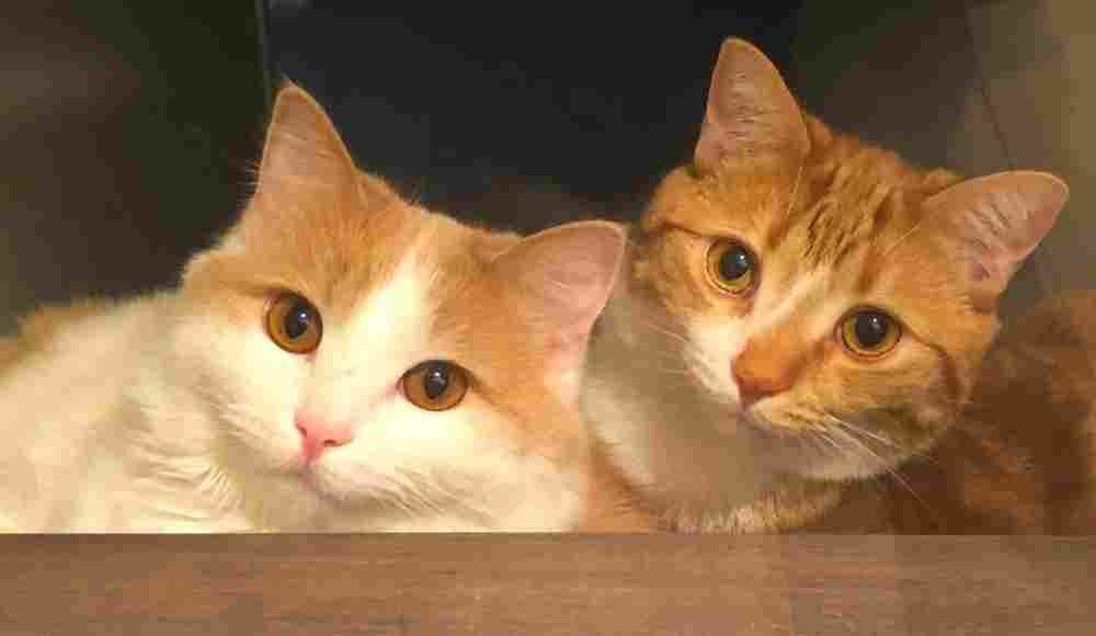 Calgary AB – Bonded Orange And White Tabby Cats For Adoption