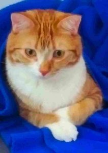 Orange Tabby Cat For Adoption