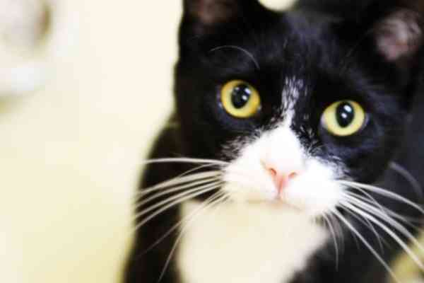 So handsome! Tuxedo Cats are always dressed to thrill. Just add Bowtie